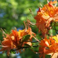 Лиственные кустарники (1)